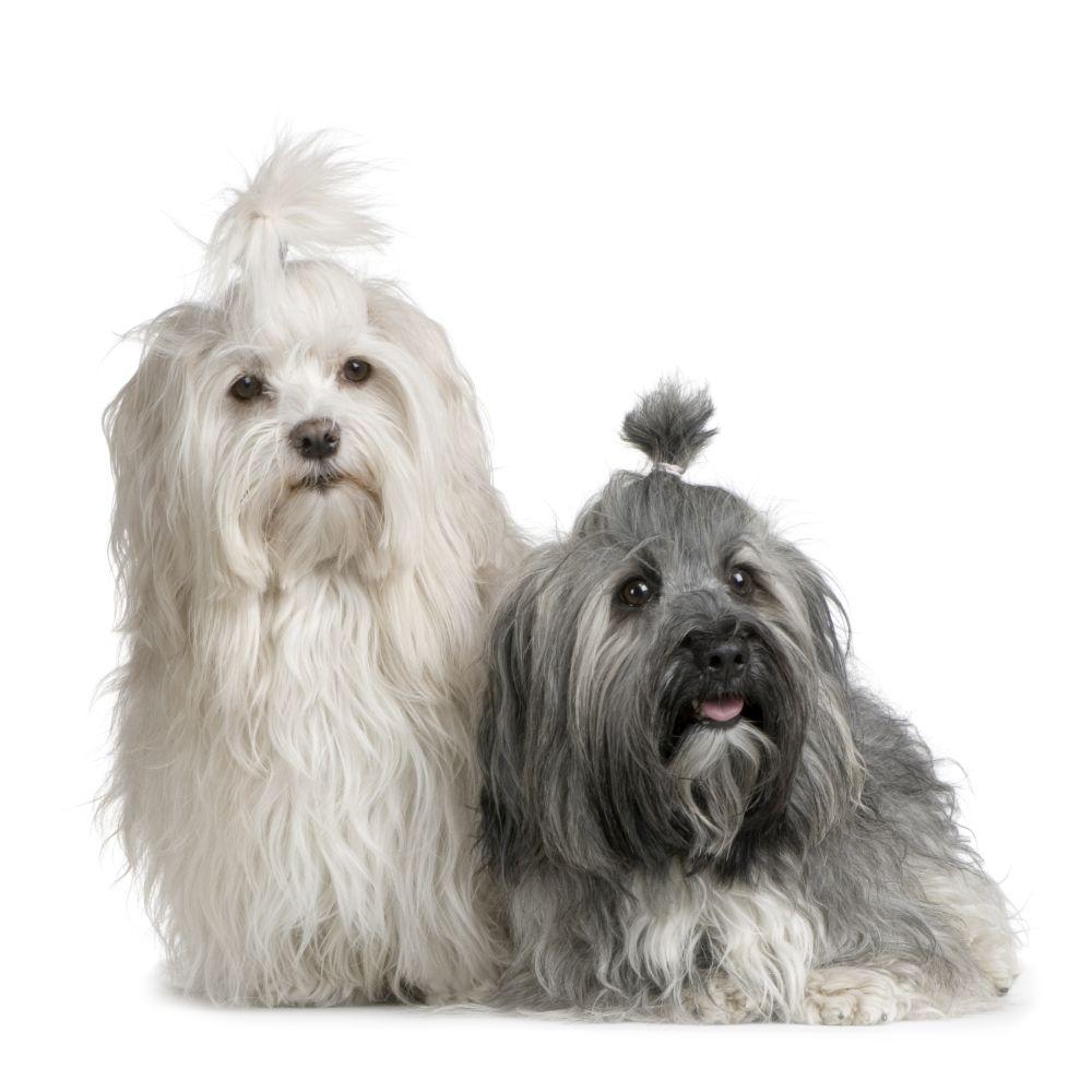 Havanese dogs