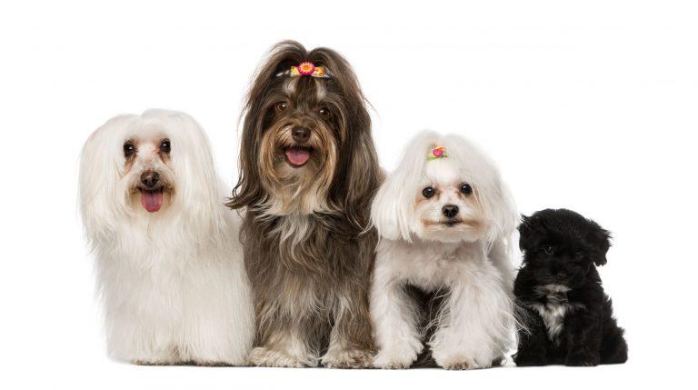 havanese dog traits
