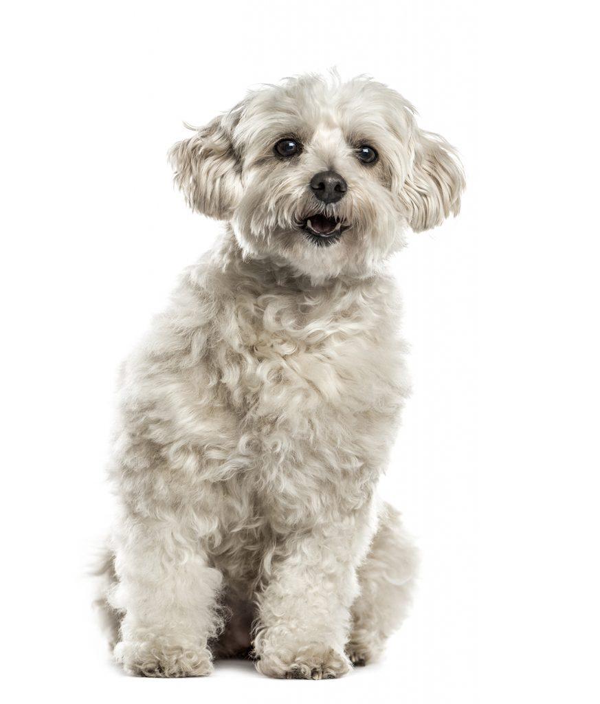 Adult Havanese dog