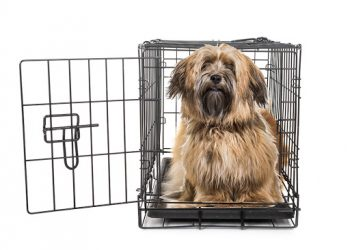 Havanese dog in crate